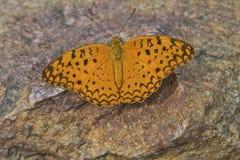Borboleta comum do leopardo Fotografia de Stock