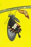 Borboleta comum do mormon (romulus dos polytes de Papilio) imagem de stock
