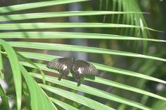 A borboleta consideravelmente preta de Swallowtail com suas asas abre fotos de stock royalty free