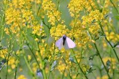 A borboleta cor-de-rosa senta-se em flores amarelas fotos de stock
