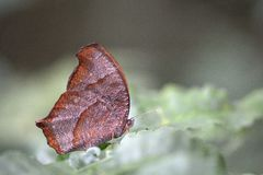 Borboleta crepuscular de Satyridae da floresta Fotografia de Stock