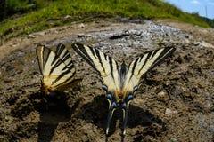 Borboleta da cauda da andorinha Fotografia de Stock