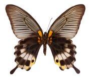 Borboleta da cor, isolada no fundo branco com trajeto de grampeamento Memnon de Papilio fotografia de stock