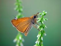 A borboleta da família Hesperiidae. imagens de stock royalty free