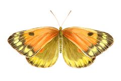 Borboleta da laranja da aquarela Ilustração desenhada mão Ilustração do Vetor