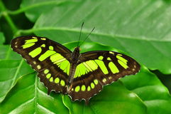 A borboleta da malaquite fotografia de stock