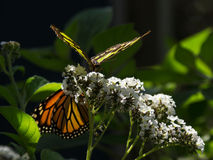 Borboleta da malaquite e borboleta de monarca Imagem de Stock