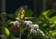 Borboleta da malaquite e borboleta de monarca Foto de Stock