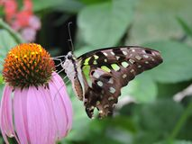 Borboleta da malaquite que alimenta em uma flor cor-de-rosa Imagem de Stock
