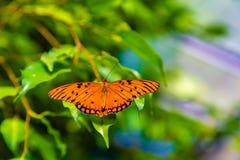 A borboleta da paixão com asas abre fotografia de stock