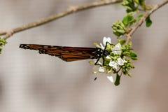 A borboleta da rainha, asas dobrou-se, alimentando na flor Fotos de Stock Royalty Free