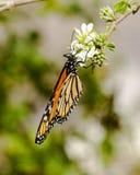 A borboleta da rainha, de cabeça para baixo, asas dobrou-se, alimentando na flor Fotografia de Stock Royalty Free