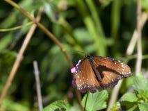 Borboleta da rainha (gilippus do Danaus) imagens de stock