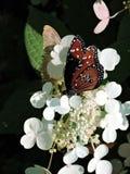 Borboleta da rainha que alimenta em uma flor branca Imagens de Stock