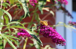 Borboleta da senhora no arbusto de borboleta Imagens de Stock Royalty Free