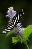 Borboleta da zebra Fotos de Stock