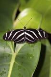 Borboleta da zebra (charithonia de Heliconious) Fotos de Stock Royalty Free