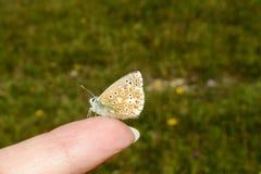 Borboleta de Adonis Blue, bellargus de Polyommatus, empoleirado na ponta de um dedo imagem de stock