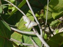 A borboleta de Anartia branco e bege do dia Jatrophae-contorneou a cinza Imagem de Stock Royalty Free