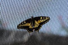 Borboleta de Anise Swallowtail Fotos de Stock