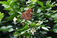 Borboleta de Brown acima da flor que floresce imagem de stock royalty free