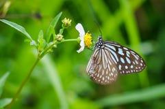 Borboleta de Brown com as flores selvagens brancas da margarida Imagens de Stock