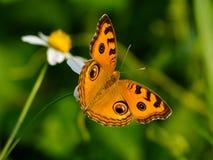 Borboleta de Brown com as flores selvagens da margarida Imagens de Stock