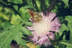 Borboleta de Brown que senta-se em um fim cor-de-rosa da flor do áster acima Foto de Stock