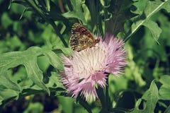 Borboleta de Brown que senta-se em um fim cor-de-rosa da flor do áster acima Fotos de Stock Royalty Free