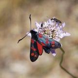 borboleta de Burnet do Seis-ponto de Alemanha Foto de Stock Royalty Free