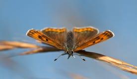 borboleta de cobre Roxo-afiada Fotos de Stock Royalty Free