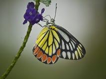 Borboleta na flor Imagens de Stock Royalty Free