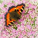 A borboleta de concha de tartaruga ou os urticae pequenos de Aglais em Sedum florescem Imagem de Stock