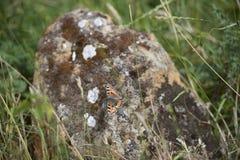 Borboleta de concha de tartaruga pequena em uma rocha Fotografia de Stock Royalty Free
