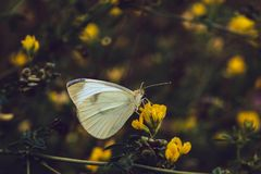 A borboleta de couve branca senta-se em uma flor amarela em um fundo borrado Rapae do Pieris do Pieridae da família Asas textured foto de stock royalty free