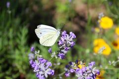 Borboleta de couve em flores da alfazema Foto de Stock