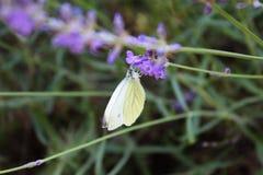 Borboleta de couve em flores da alfazema Fotos de Stock Royalty Free