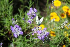 Borboleta de couve em flores da alfazema Imagens de Stock Royalty Free