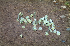 Borboleta de couve na areia Imagens de Stock