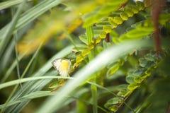 Borboleta de couve (Pieridae) na grama Fotos de Stock Royalty Free
