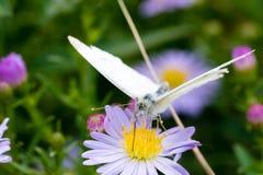 A borboleta de couve que senta-se em uma flor Foto de Stock Royalty Free