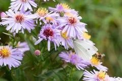 A borboleta de couve que senta-se em uma flor Fotografia de Stock Royalty Free
