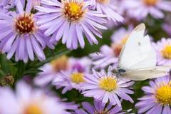 A borboleta de couve que senta-se em uma flor Fotos de Stock Royalty Free