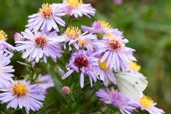 A borboleta de couve que senta-se em uma flor Imagem de Stock Royalty Free
