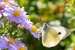 A borboleta de couve que senta-se em uma flor Fotos de Stock