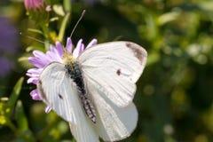 A borboleta de couve que senta-se em uma flor Foto de Stock
