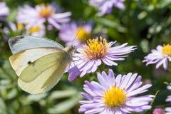 A borboleta de couve que senta-se em uma flor Fotografia de Stock