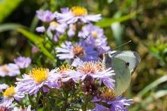 A borboleta de couve que senta-se em uma flor Imagens de Stock Royalty Free