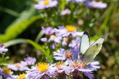 A borboleta de couve que senta-se em uma flor Imagens de Stock