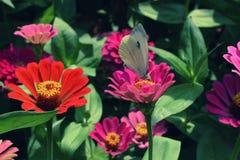 A borboleta de couve que senta-se em zinnias cor-de-rosa Fotos de Stock Royalty Free